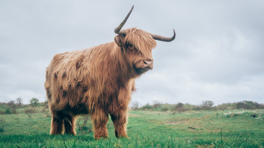 A brown yak stands in a green field.